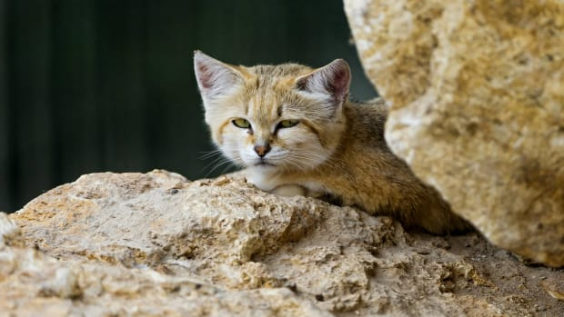 Extremely Rare Cat Seen For The First Time In A Decade (Photos) Promo Image