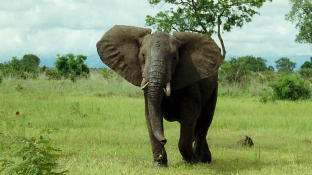 Poaching Is Driving Tusked Elephants To Extinction Promo Image