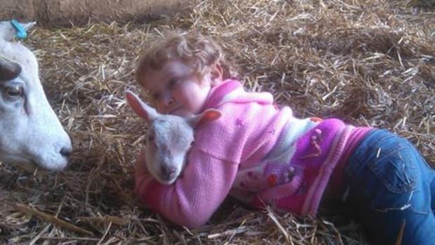 3-Year-Old Girl Helps Pregnant Sheep Deliver Baby (Video) Promo Image