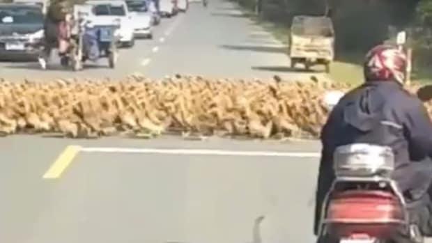 Thousands Of Ducks Cross Road, Motorists Wait (Video) Promo Image
