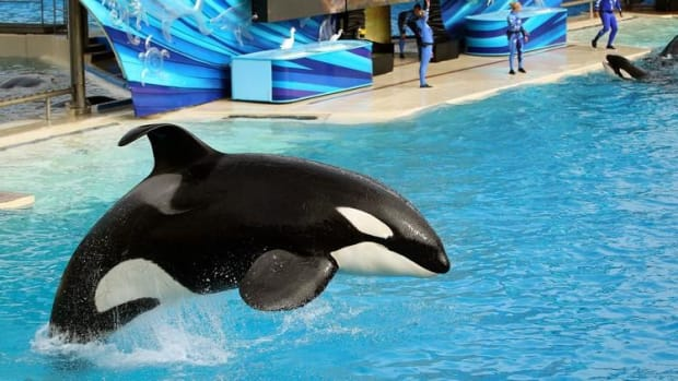 SeaWorld San Diego Ends Killer Whale Show Promo Image