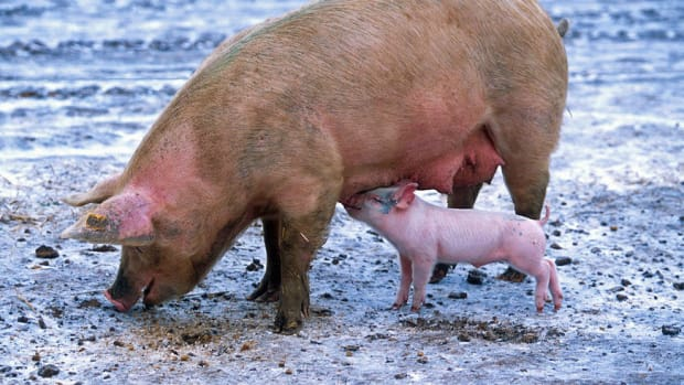 Newborn Piglets Revive Their Sick Mother (Video) Promo Image
