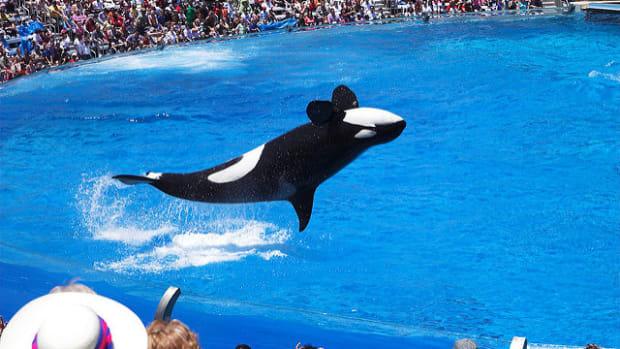 California Bans SeaWorld Orca Shows Promo Image