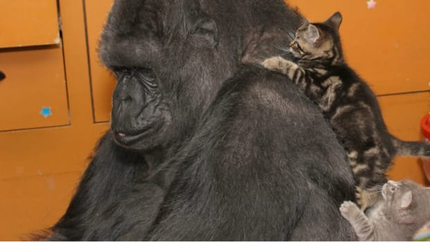Gorilla Gets Kittens For Her Birthday, Falls In Love (Video) Promo Image