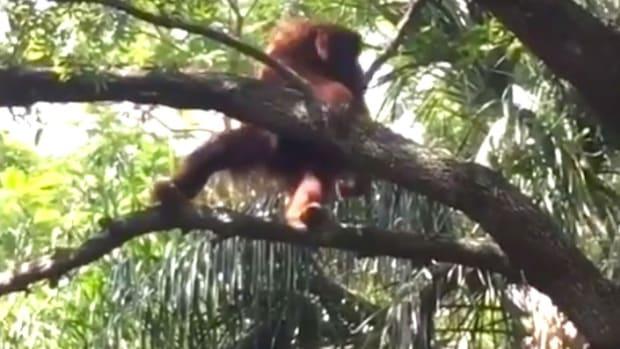 Orangutan Escapes At Busch Gardens (Video) Promo Image