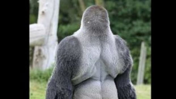 Watch: 'Ambam' The Walking Gorilla Is Wowing Spectators Across The World (Video) Promo Image
