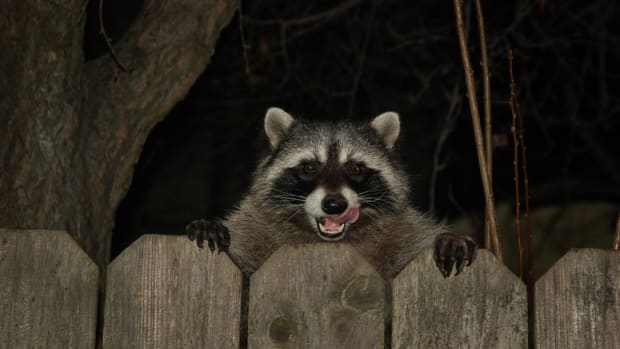 Baby Survives Attack From Raccoon Inside Apartment (Photos) Promo Image