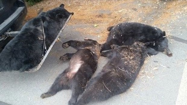 Officials Discover What Really Happened To 4 Dead Bears Found Outside Church Promo Image