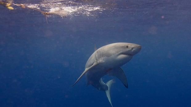 Man Flees From Police Into Ocean, Runs Into Shark (Video) Promo Image