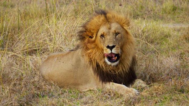 Cecil The Lion's Son, Xanda, Killed By Big Game Hunters Promo Image