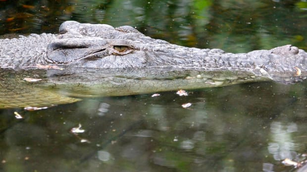 Alligators Freeze Their Snouts In Place To Survive (Video) Promo Image
