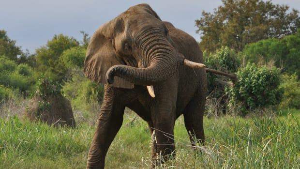 African Elephant Tramples Hunter On World Elephant Day Promo Image