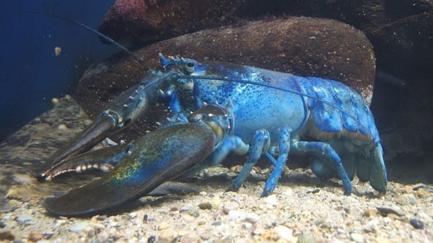 Man Catches One-In-A-Million Blue Lobster (Photos) Promo Image