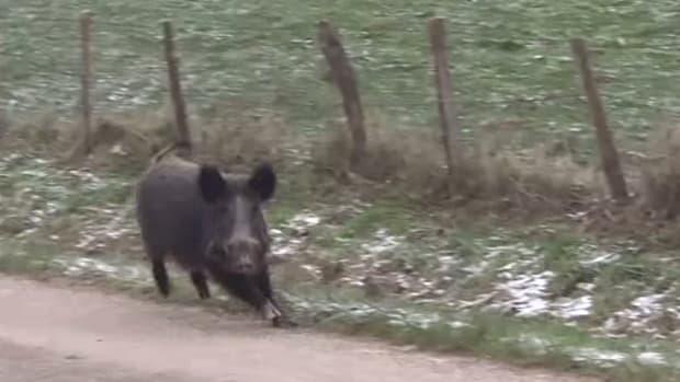 boar_featured.jpg