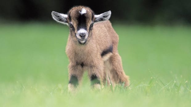 pygmygoats1_featured.jpg