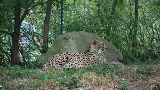 cheetahfall_featured.jpg