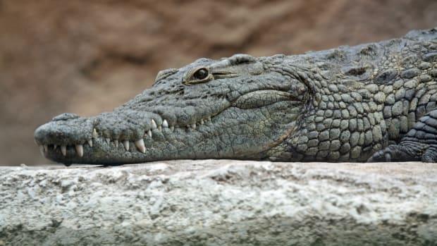 croc_featured.jpg