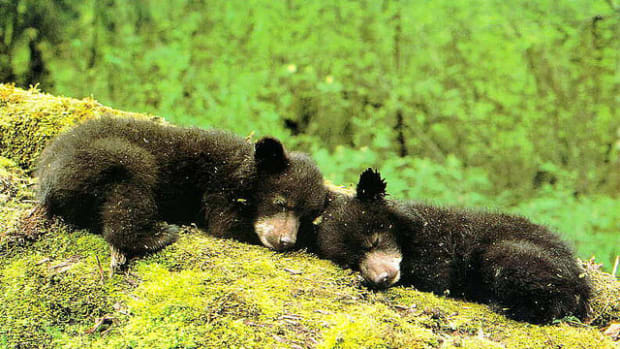 bears_featured.jpg