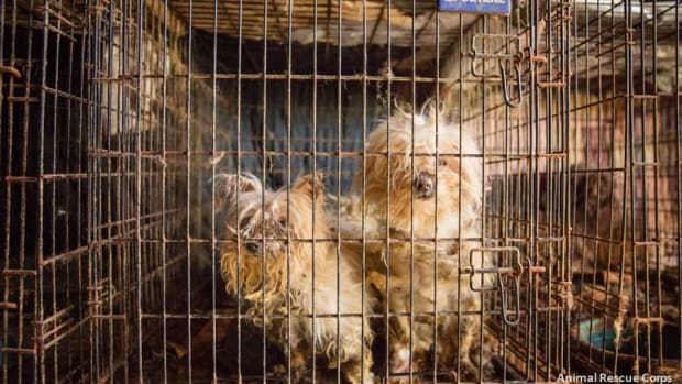Dogs In Cage.