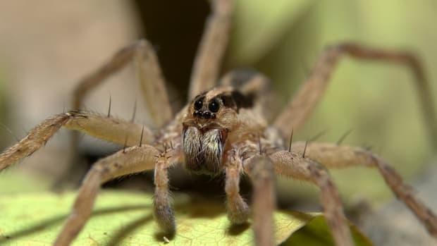 Wolf Spider.