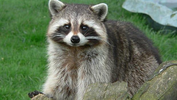 raccoon posing on grass with log