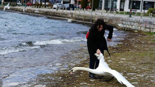 Swan Dies After Selfie With Tourist Promo Image