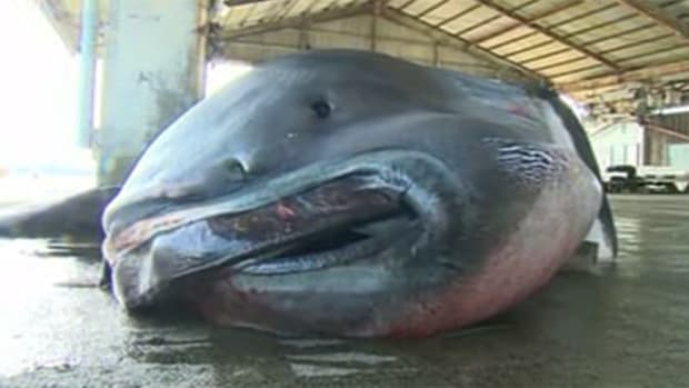Rare 'Megamouth' Shark Caught In Japan (Photos) Promo Image