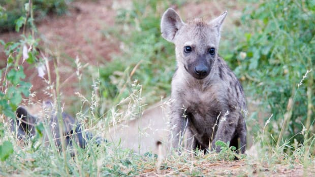 Camping Trip Hyena Attack Leaves Boy's Face Mutilated Promo Image