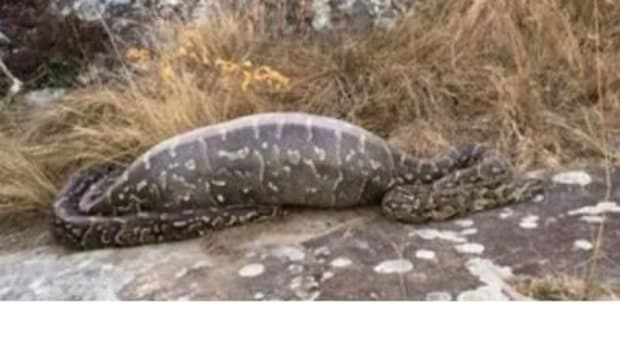 Python Discovers The Hard Way What Happens When You Swallow The Wrong Animal (Video) Promo Image
