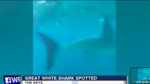Great White Shark Spotted In Florida Keys (Video) Promo Image