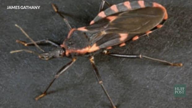 Triatomine Bug.