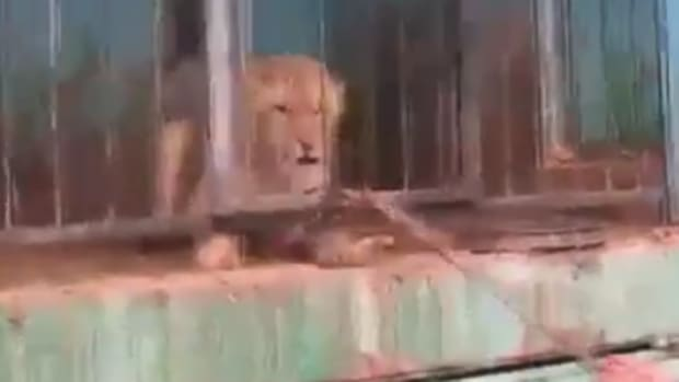 Lion in Armenian Zoo