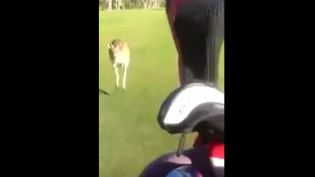 Kangaroo Chases Golfers