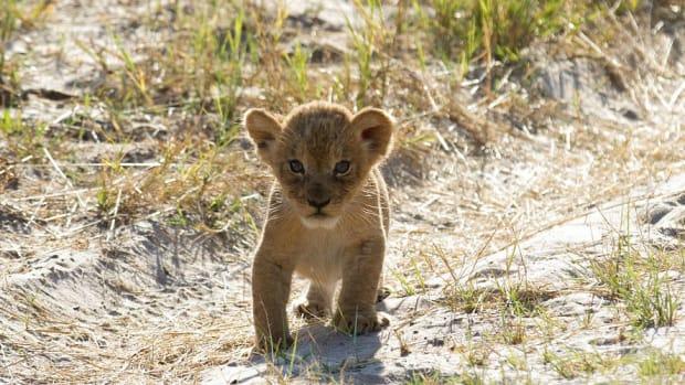 Cecil The Lion's Son Has Babies Promo Image