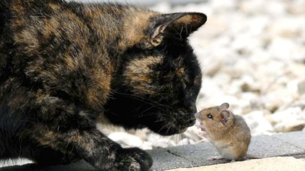 Lala the cat playing with field mouse