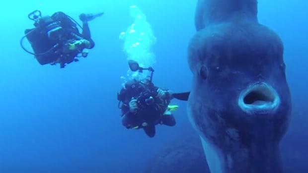 Divers Sunfish