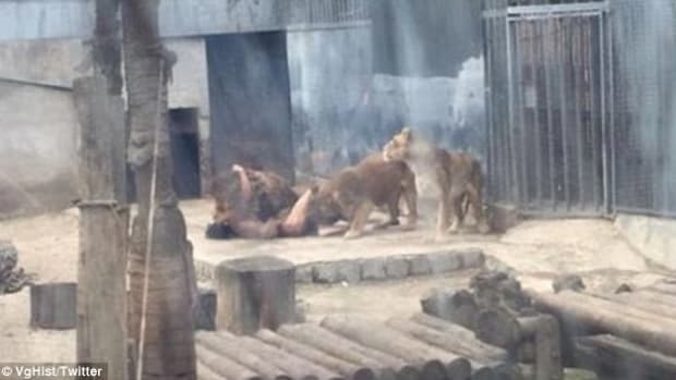 Two Lions Killed After Man Attempts Suicide At Zoo Promo Image