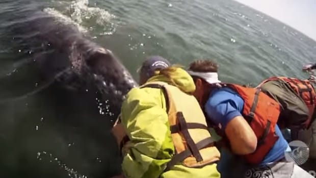 Whale Lifts Baby Up For Tourists To Pet (Video) Promo Image