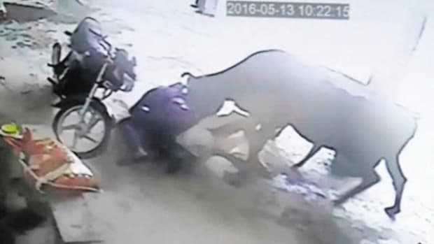 Cow Charges At Men Attacking Young Girl (Video) Promo Image
