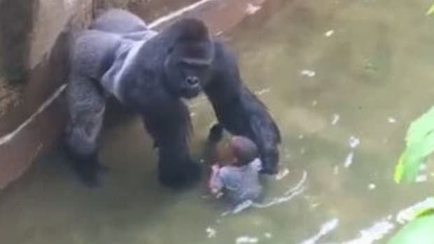 Parents Harshly Criticized After Gorilla Death (Video) Promo Image