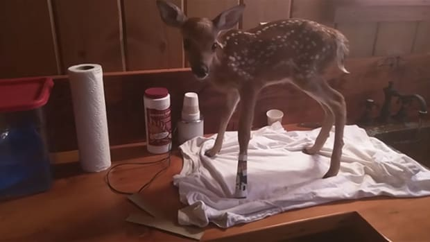 Injured Deer.