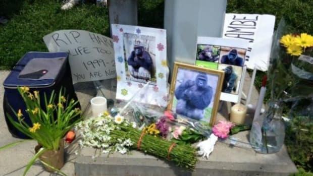 Cincinnati Zoo Under Fire For Killing Gorilla Promo Image