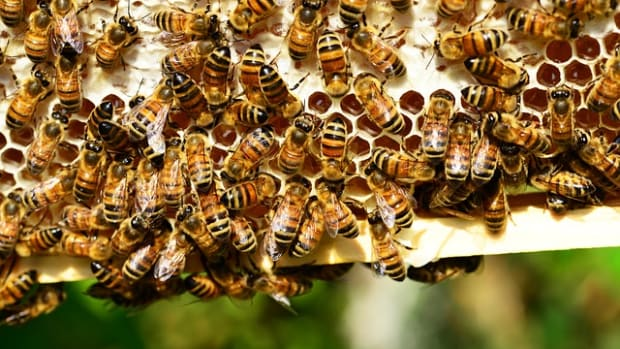 Honeybees.