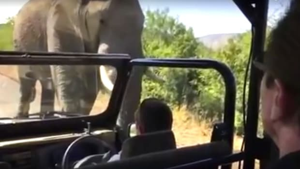 Arnold Schwarzenegger Is Chased By Elephant (Video) Promo Image