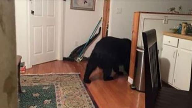 Bear walking around home
