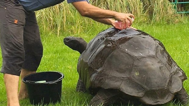 184-Year-Old Tortoise Gets First Bath Ever (Photos) Promo Image