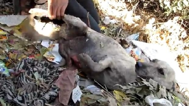 Stray Dog With Stomach Cut Open Found In Trash (Video) Promo Image