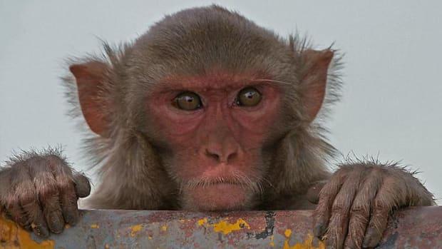 Rhesus Macaque.