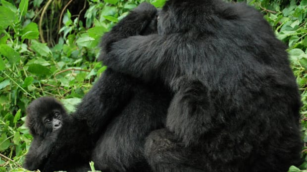 Gorillas Engage In Homosexual Activity, Research Says (Photos) Promo Image