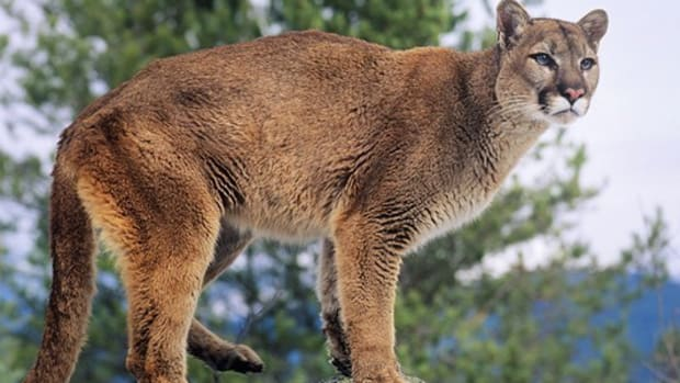 Mother Saved Son From Mountain Lion Attack (Photo) Promo Image
